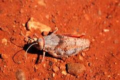The gibber grasshopper Stock Photo
