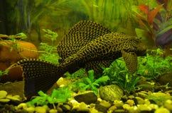 Gibbiceps Pterygoplichthys Стоковые Фотографии RF