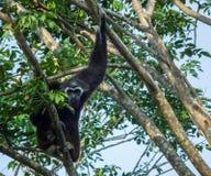 gibbon Â-släktet Hylobates, pileated gibbon Arkivfoton