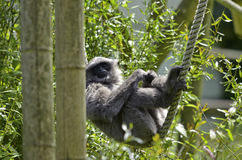 gibbon αργυροειδής Στοκ εικόνα με δικαίωμα ελεύθερης χρήσης