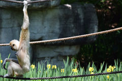 Gibbon μεταξύ των λουλουδιών Στοκ φωτογραφία με δικαίωμα ελεύθερης χρήσης