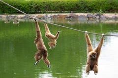 gibbon πίθηκοι Στοκ Εικόνες