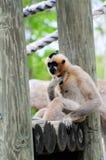 gibbon πίθηκος Στοκ φωτογραφίες με δικαίωμα ελεύθερης χρήσης