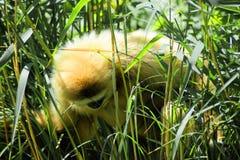Gibbon στα gras Στοκ εικόνα με δικαίωμα ελεύθερης χρήσης