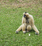 gibbon вручил белизну Стоковая Фотография RF