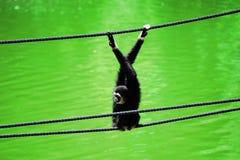 gibbon стоковая фотография