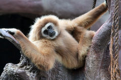 Gibbon. On tree (Hylobates Lar royalty free stock photos
