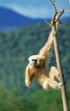 gibbon Arkivbild