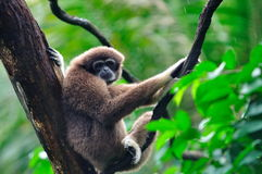 Gibbon. A gibbon resting on a tree Royalty Free Stock Photography