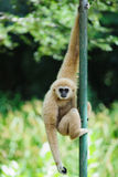 Gibbon. White Cheek Gibbon in Zoo royalty free stock photos