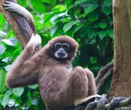 Gibbon. Resting peacefully high in a tree, a female gibbon is suddenly put on alert royalty free stock image