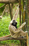 Gibbon Royalty Free Stock Photos
