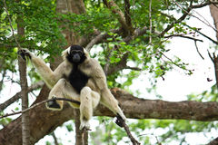 Gibbon. A Gibbon sitting on the tree Royalty Free Stock Photography