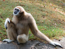 Gibbon. (white-handed ) is sitting Royalty Free Stock Image