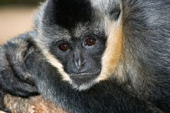 Gibbon Royalty-vrije Stock Fotografie
