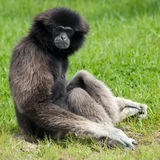 Gibbon 2. Portrait of a gibbon sitting in the grass stock image