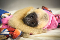Gibbon. Lar Gibbon baby (also White handed Gibbon), Hylobates lar Stock Photos