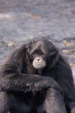 gibbon Royaltyfri Bild