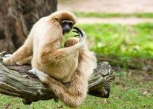 gibbon Стоковое Изображение RF