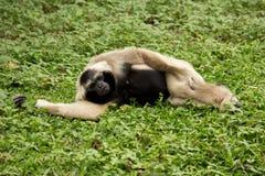 Gibbon Stock Image