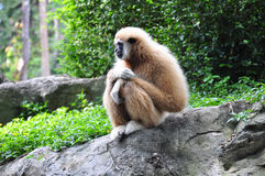 Gibbon. A long-armed gibbon is sitting on rock Stock Photography