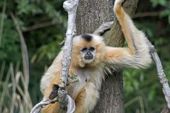 Gibbon. A gibbon on a tree with a green background Royalty Free Stock Photo