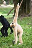 Gibbon Stockfotos