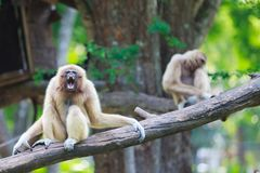 Gibbon Royalty-vrije Stock Foto