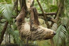 Gibbon Immagini Stock Libere da Diritti