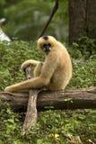 Gibbon Immagine Stock