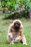 Gibbon. A long-armed gibbon is sitting on grass Stock Photos