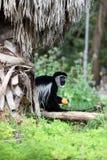 gibbon Стоковое Фото
