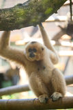 Gibbon. Brightly gibbon,Sitting on the branches Royalty Free Stock Images