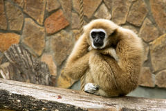 Gibbon Obrazy Royalty Free