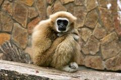 Gibbon obrazy stock