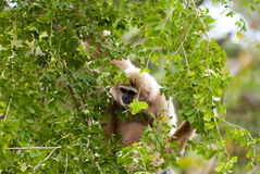 Gibbon. Precious specimen of Gibbon of golden cheeks Royalty Free Stock Photography