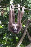 Gibbon. Female gibbon hanging upside down on a tree branch royalty free stock photography
