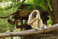 Gibbon. S is in the zoo,Thailand Royalty Free Stock Photos