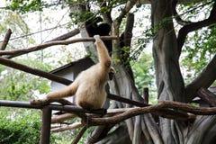 Gibbon imagens de stock royalty free