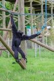 Gibbon Lizenzfreie Stockfotos