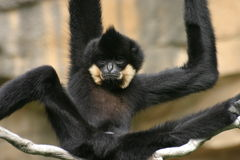 Gibbon fotografia de stock royalty free