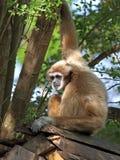 Gibbon Fotografia Stock Libera da Diritti