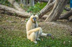 Gibbon. 2 Immagine Stock Libera da Diritti