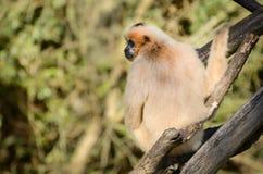Gibbon Stockfotografie