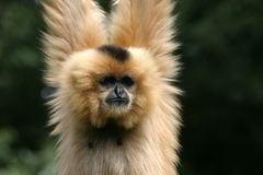 Gibbon fotos de stock royalty free