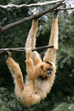 gibbon Royaltyfria Foton