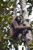 Gibbon Στοκ εικόνες με δικαίωμα ελεύθερης χρήσης