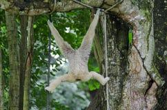 gibbon Stockbilder