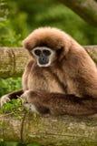 gibbon Lizenzfreies Stockfoto