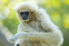 White gibbon ape Royalty Free Stock Photos